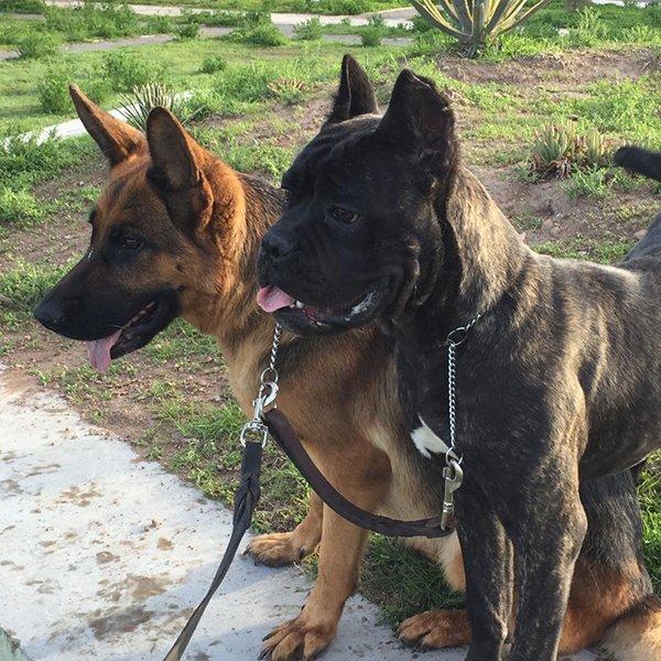 pastor belga y cane corso